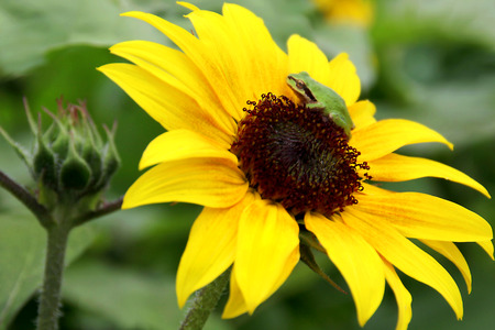 nestled: Chorus Frog Nestled on Sunflower Stock Photo