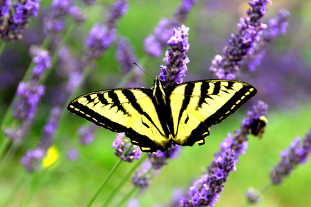 intoxicating: Swallowtail Butterfly on Lavender Stalks Stock Photo