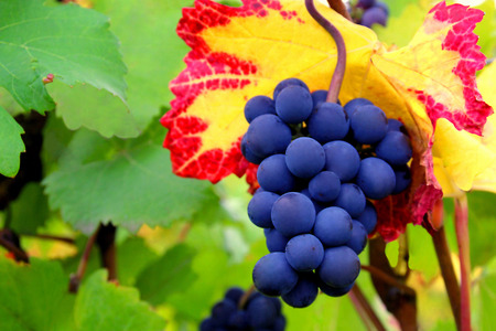 Pinot Noir Grapes Against Colorful Leaves Stock Photo