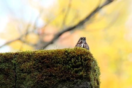 serenading: Song Sparrow Serenading
