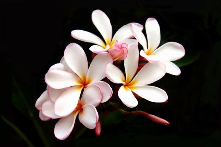 yellow flower tree: Pink Plumeria Bouquet