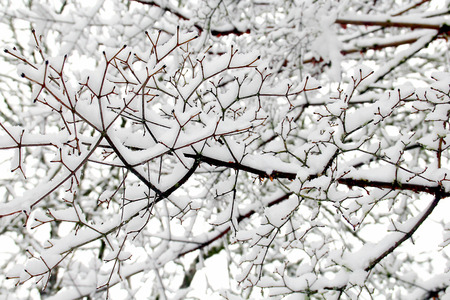 textures: Schnee-Muster auf Ahornbaum