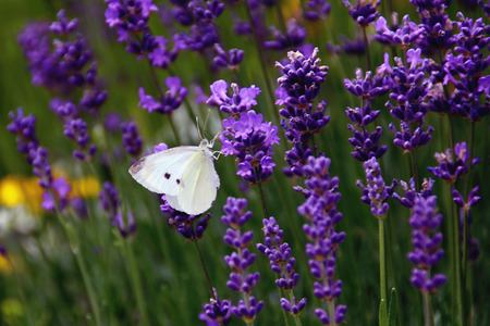 intoxicating: Cabbage White Moth on Lavender