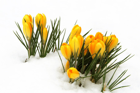 Yellow Crocuses in Snow