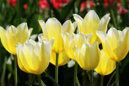 Macro Yellow and White tulips
