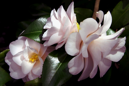 Pale Pink Camellias Stock Photo