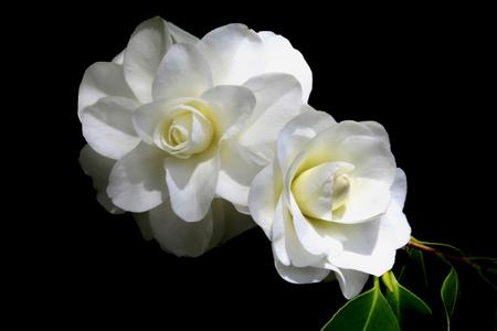Showy White Camellias