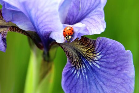 Ladybug on Purple Iris