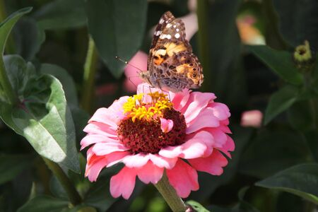 Painted Lady Butterfly on Pink Zinnia