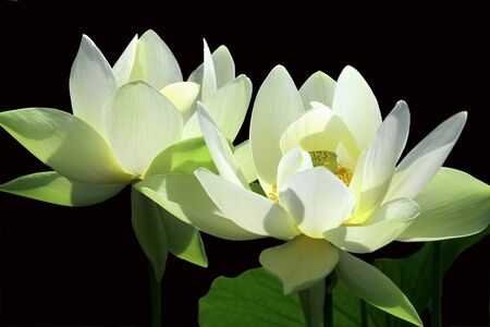 Pale Yellow Lotuses