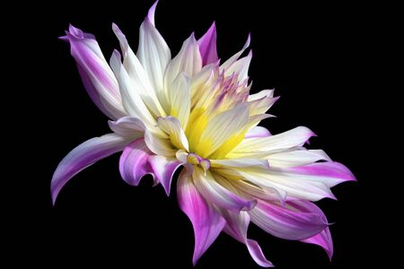 Purple and White Dahlia Profile