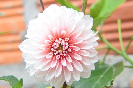 Pink dahlia flower Foto de archivo - 122652445