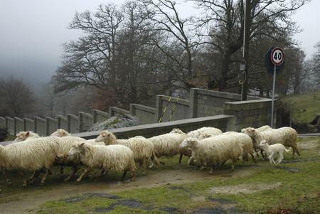 sardaigne: Bande de moutons sur la route en Sardaigne, Italie Banque d'images