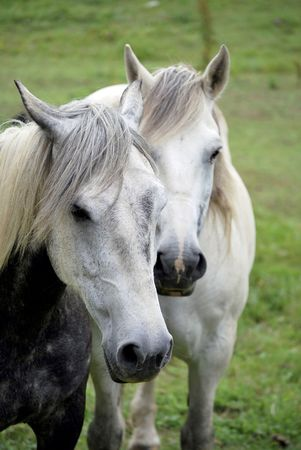 Portrait of two gray horses in the farm Stock Photo - 5235193