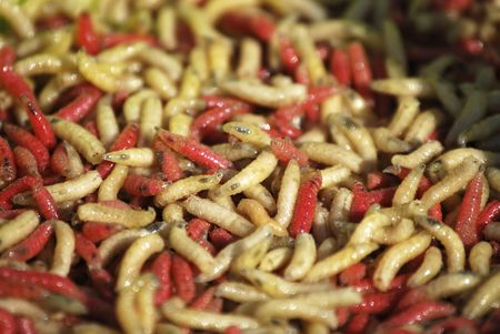 wigglers: Several worms in red an yellow. Invertebrate bugs Stock Photo