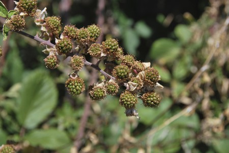 rubus: Unripe blackberries. Detail. Rubus ulmifolius. Elmleaf blackberry
