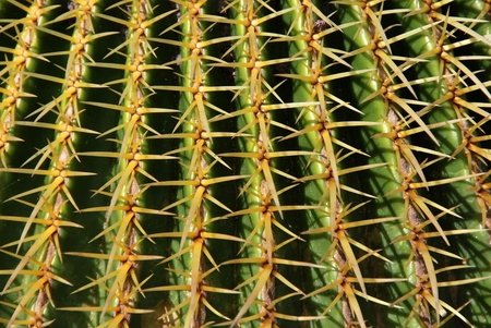 Detail of cactus spines. Background for gardening and botany photo