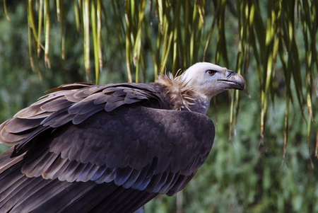 carrion: Portrait of a Vulture. Big carrion bird