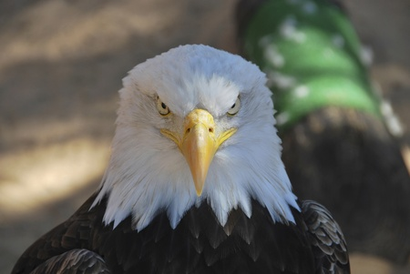patriotic eagle: portrait of an american egale looking to the camera Stock Photo