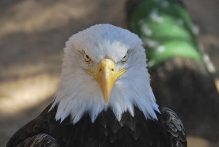 aguila americana: Retrato de un egale estadounidense mirando a la c�mara