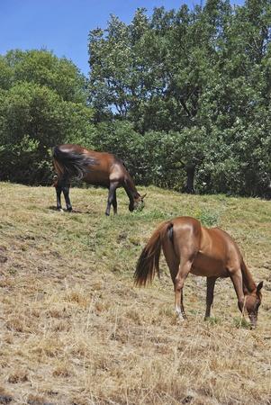 Dos caballos comiendo hierba. Los animales herb�voros de pastoreo. Foto de archivo - 10383326