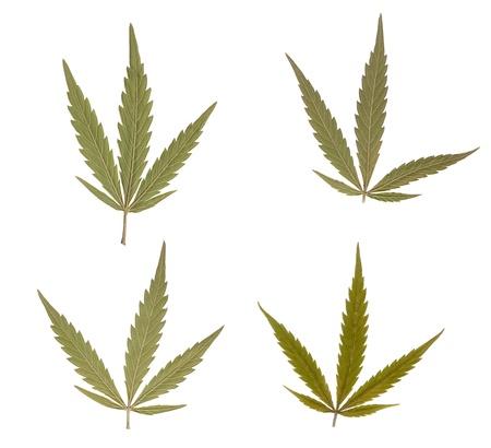 Marijuana leaves isolated over white background. Addictive drug photo