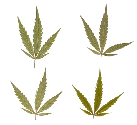 addictive: Marijuana leaves isolated over white background. Addictive drug Stock Photo