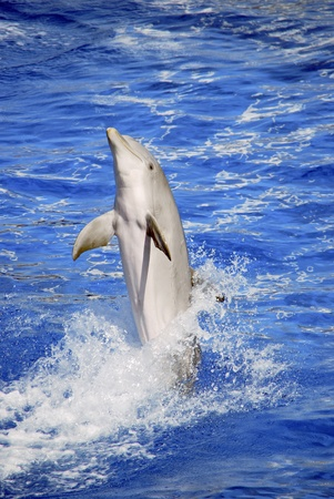 A dolphin is marching on the water with the tail Stock Photo - 13283266