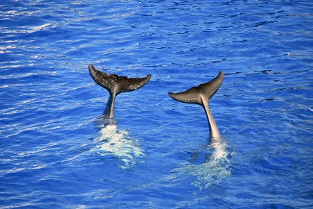 Two dolphin tails out the water  Aquatic mammals photo