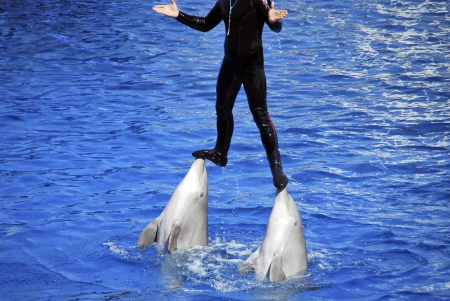 Two dolphins are carrying their trainer with their nose photo