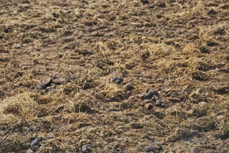 excrement: Letame spreaded a terra escrementi degli animali utilizzati per fertilizzare i terreni Agricoltura Archivio Fotografico