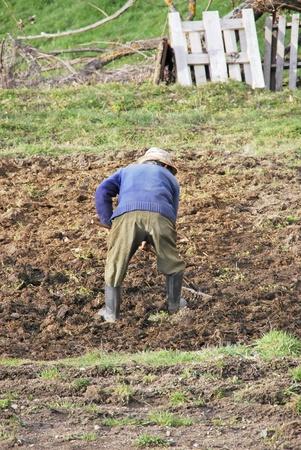 manure: A farmer spreading manure with a rake