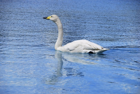 whooper swan swimming on the water. Aquatic bird photo