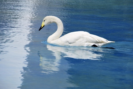 whooper swan swimming on the water  Aquatic bird photo