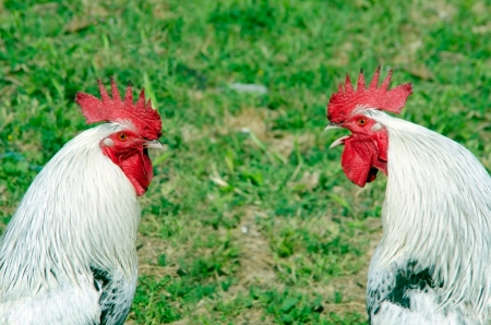 crowing: A pair of roosters. One is crowing in front the of other Stock Photo