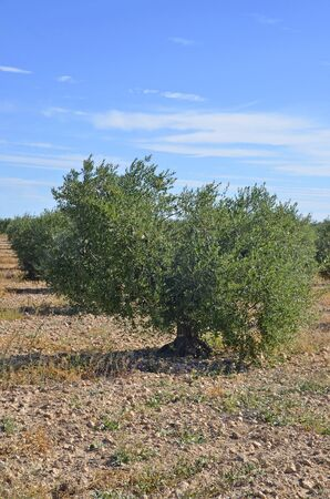 Olive trees plantation in Spain. Oil is a important mediterranean diet ingredient photo