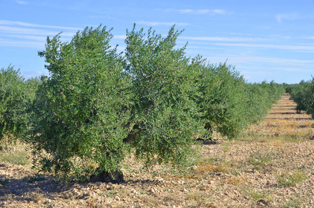 Olive trees plantation in Spain. Olive oil is a important mediterranean diet ingredient photo