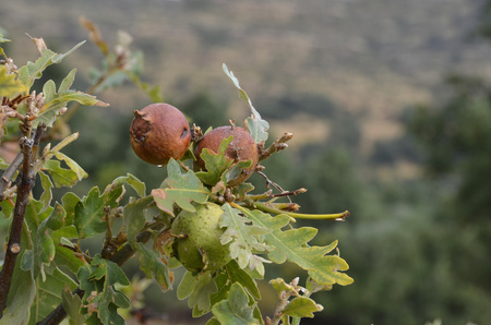 quercus robur: Galls on the branches of an spanish oak  Tree infection