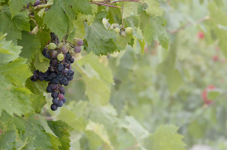 grape field: A bunch of grapes in the vine  Agriculture and winery concept