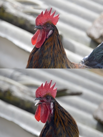 crowing: Set of two black cock profiles. In one the animal is crowing
