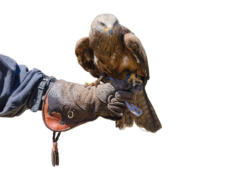 aquila: An eagle standing on the globe of a falconer Stock Photo
