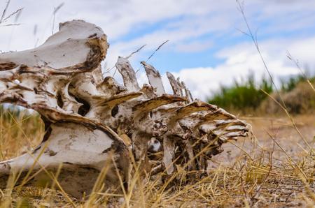 vertebrate: Skeleton of a vertebrate animal lying on the ground. Bones with rotten meat.  Stock Photo