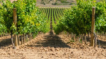 Vineyard in Ribera del Duero, Burgos, Castile and Leon, Spain