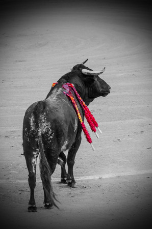 toros: A bull with banderillas in the bullfight
