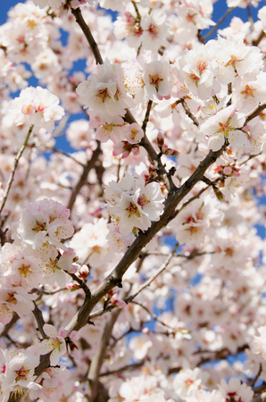 Almond tree with a lot of white flowers in its branches. Spring blooming photo