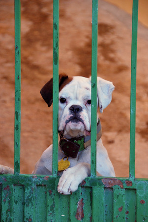 house trained: A guard dog observes from the fence. Beware of the dog