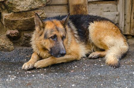 tremp�e: Tremp� chien. Berger allemand Douloureux couch� dans le sol apr�s la pluie Banque d'images
