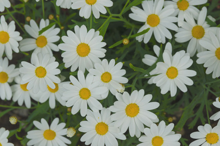 asteraceae: Daisy flower background. Daisy is a flower of Asteraceae family Stock Photo