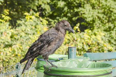 pecker: A crow standing on a bin in the park