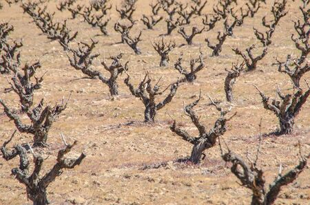 zamora: Pruned vines in the field of Morales de Toro, Zamora. Spain. Winery